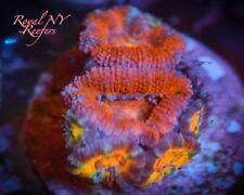 New listing Tye-Dye Acan Frag Live Coral Wysiwyg Lps