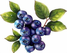 British Columbia Highbush Blueberry Plant- 50 Seeds - High Yielding Blueberries