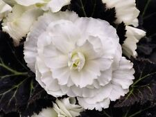 Tuberous Begonia NonStop Mocca White Seed Bronze Foliage NEW RELEASE