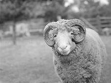 Fotografía Blanco Negro Ram ovejas Aries Animal impresión arte cartel lv3527