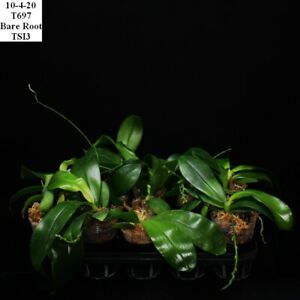 TS1020.157 Phalaenopsis pulchra x speciosa Bare Root T697