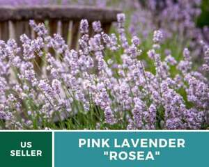 Lavender, Pink Rosea - 20 Seeds - Fragrant Herb - Blooms summer to early fall