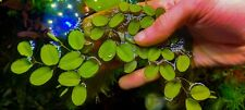 Salvinia auriculata 20 piante  di 5cm galleggianti per laghetto e acquario