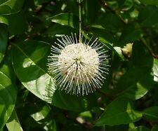 Buttonbush   Cephalanthus occidentalis   50 Seeds   (Free Shipping)