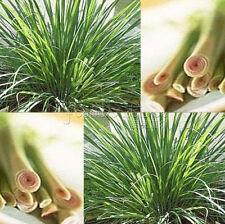 400 India Lemon Grass Seeds-Caribbean fever grass -Perennial TT232