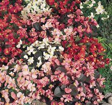 Begonia - Organdy Mixed - 100 Seeds