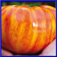 Big Rainbow Tomato Seeds- Big Beautiful Fruit! Comb. S/H See our store!
