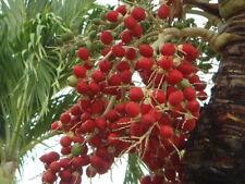 ADONIDIA MERRILLII 5 semillas 5 seeds Palma Manila Manila palm