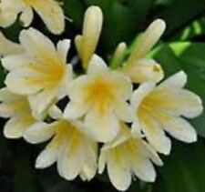 CREAM CLIVIA miniata shady garden flowers plant in 100mm pot