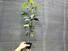 "30 - 36"" FLORIDA Star Apple Tropical Fruit Tree Plant Caimito Chrysophyllum"
