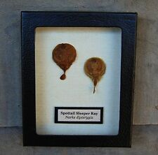R3) Real Taxidermy SPOTTAIL SLEEPER RAY PAIR mounted framed shark stingray in US