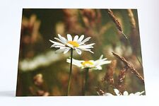 Giant Oxeye Daisies unique blank any occasion greetings cards