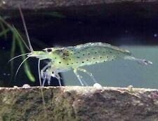New listing 10+ Live Freshwater Ghost Shrimp;