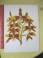Vintage,Print,ODONTOGLOSSUM GRANDE #2,c1885,Wm Mackenzie