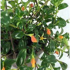 Goldfish Live Plant Houseplant Indoor 6 Hanging Basket Blooms Frequently Violets
