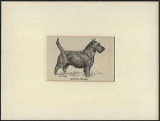 SCOTTISH TERRIER LOVELY ANTIQUE DOG PRINT FROM 1912 by WARDLE READY MOUNTED