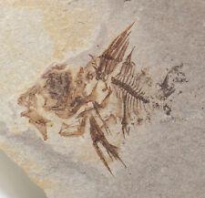 Fisch, Capros rhenanus, Tertiär, Oligozän, Skopow, Karpathen, Polen -x112