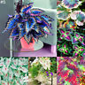 GX- 50Ps Coleus Flower Seeds Home Garden Yard Leaf Plant Potted Bonsai Decor San