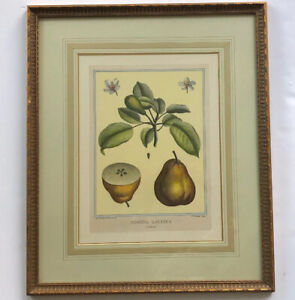 Marin Soicher Thomas Hines French Botanical Print Pomona Gallica Framed Pear
