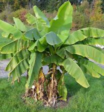 25 Samen Echte Japanische Faser Banane Musa balbisiana