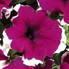 50 Petunia Dreams Burgundy Picotee Seeds