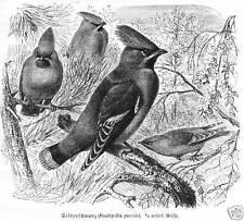 SEIDENSCHWANZ  FLIEGENFÄNGER Holzstich 1891 Vogel Ornithologie