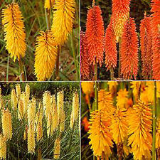 Red Hot Poker Hybrids Mixed (Thompson & Morgan Seeds) Four Bright Colour Spikes