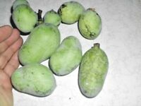 Indianerbanane winterhart Assimina Papau Pawpaw 10 Samen Asimina triloba