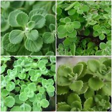 3 VICKS PLANTS PLECTRANTHUS TOMENTOSA SCENTED HERB PLANTS EASY CARE!