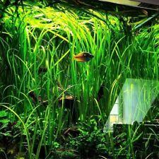"""3 x 15 cm Vallisineria Spiralis XL """"Jungle Val"""""""