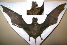 Otomops formosus Complete dried bat Taxidermy REAL