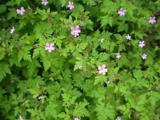 2 ORGÁNICO Norfolk SALVAJE flores.herbal ROBERT Sistemas de raíz, hierbas Cáncer