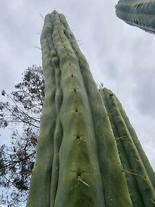 Tricho SS02 x Julls The Giant Op 30 Fresh 2021 Cactus Seeds 🌵