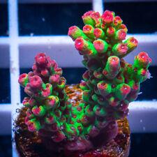 Unique Corals Wysiwyg, Strawberry Shortcake Acropora