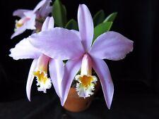 Do- Laelia jongheana, Cattleya Orchid species, Rare and Choice!