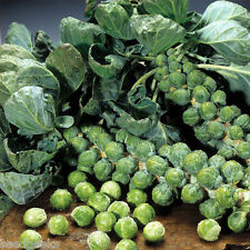 Catskill Brussels Sprout Heirloom Seeds - Non-GMO - Untreated - Open Pollinated!
