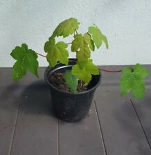 1 x Norway Maple (Acer Platanoides) Seedling 30 cm Tall in 1-2Lpot