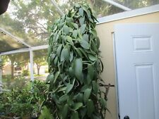 5 Plus Feet Of Vanilla Planifolia In Heavy Bud, Not Rooted,Cut This Morning