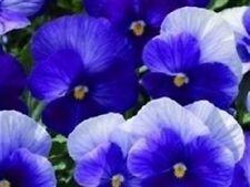Viola - Penny Lavender Shades - 15 Seeds