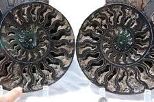 "1697x RARE 1in100 BLACK Ammonite PAIR Deep Crystal 110myo FOSSIL XXXL 242mm 9.5"""
