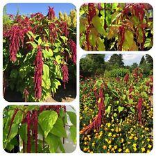 Jardín serrucho Amaranthus caudado rojo serrucho suspendidas amaranto