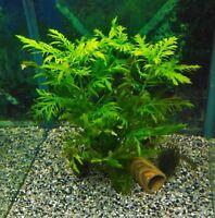 Indischer Wasserstern (Hygrophila difformis) schnellwachsende Aquariumpflanzen