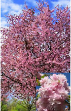 beautiful flowering almond tree -  Prunus Dulcis  5 fresh seeds from our garden