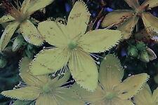 50 Samen Johanniskraut,Hypericum perforatum#438