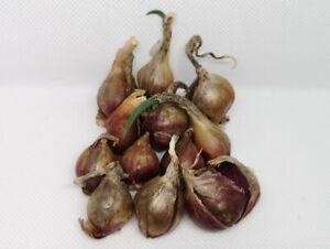 5 Brutzwiebeln Ägyptische Zwiebeln Luft Etagenzwiebel Egyptian Walking Onion
