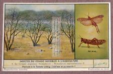 Red Locust Congo Africa African Insect c50 Y/O Vintage Trade Ad Card