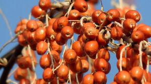 very rare fruits -elaeagnus orientalis -- oriental russian olive --bulk 50 seeds