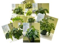 "THE BEST COLLECTION OF EPIPREMNUM & PHILODENDRON 8"" HANGING BASKET(common~rare)"