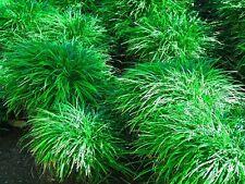 Ophiopogon japonicus - mondograss, fountainplant, monkeygrass - 10 plants
