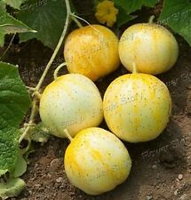 All Weather 100 Lemon cucumber Seeds All Year Round Non Gmo Heirloom